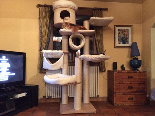 nikkocoons chatterie de maine coons. Black Bedroom Furniture Sets. Home Design Ideas